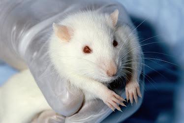 http://3.bp.blogspot.com/_h8IJJ2xWQ8s/TLk9Pme99MI/AAAAAAAAAAc/-ZwL9tzfvis/S374/tikus+putih.jpg