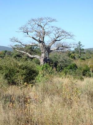 Drzewo Baobab w Północnym Parku Krugera