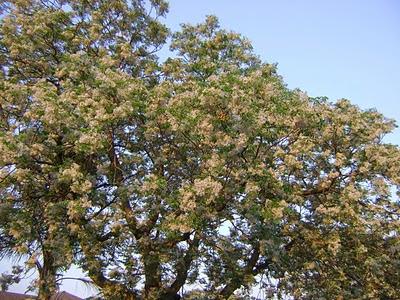 Kwiaty Indyjskiej Seringi