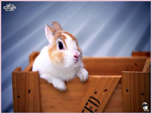 gambar kelinci lucu, foto kelinci, wallpaper kelinci