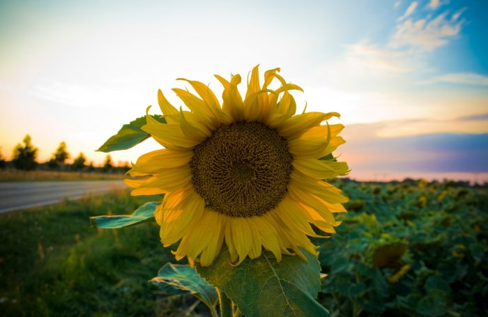 Sunflower in pictures