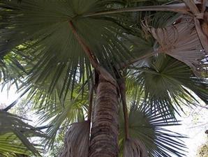 Palem baru di pulau madagaskar yang berbunga setiap 100 tahun sekali