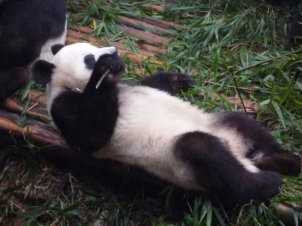 [panda2.JPG]