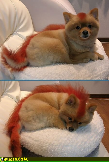 The Pomeranian {with a kickin' haircut!}