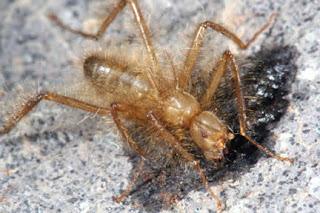 Mormotomyia hirsuta (male)