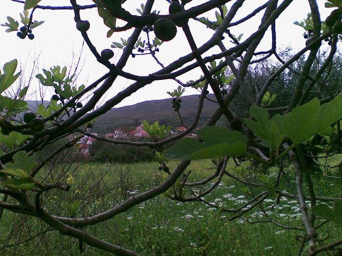 Αγριοσυκια [ στον Αη Βλαση ] Μαχαιρα Ακαρνανιας