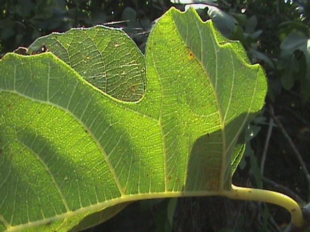 Φυλλο συκιας  στον Κηπο μας [ Φθινοπωρινο Φως ]