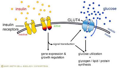 Insulin receptors
