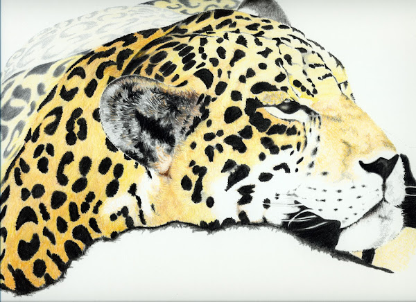 Jaguar, colour pencil sketch