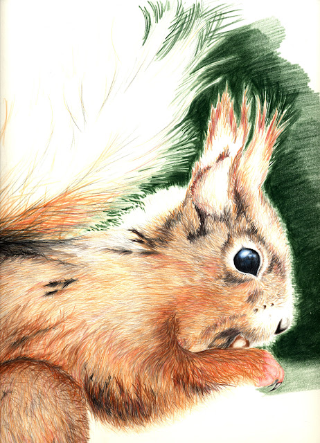 Red squirrel, colour pencil on A2, drawn from photo I took in Scotland in 2004.