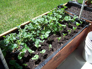 Garden box with strawberries and pole beans