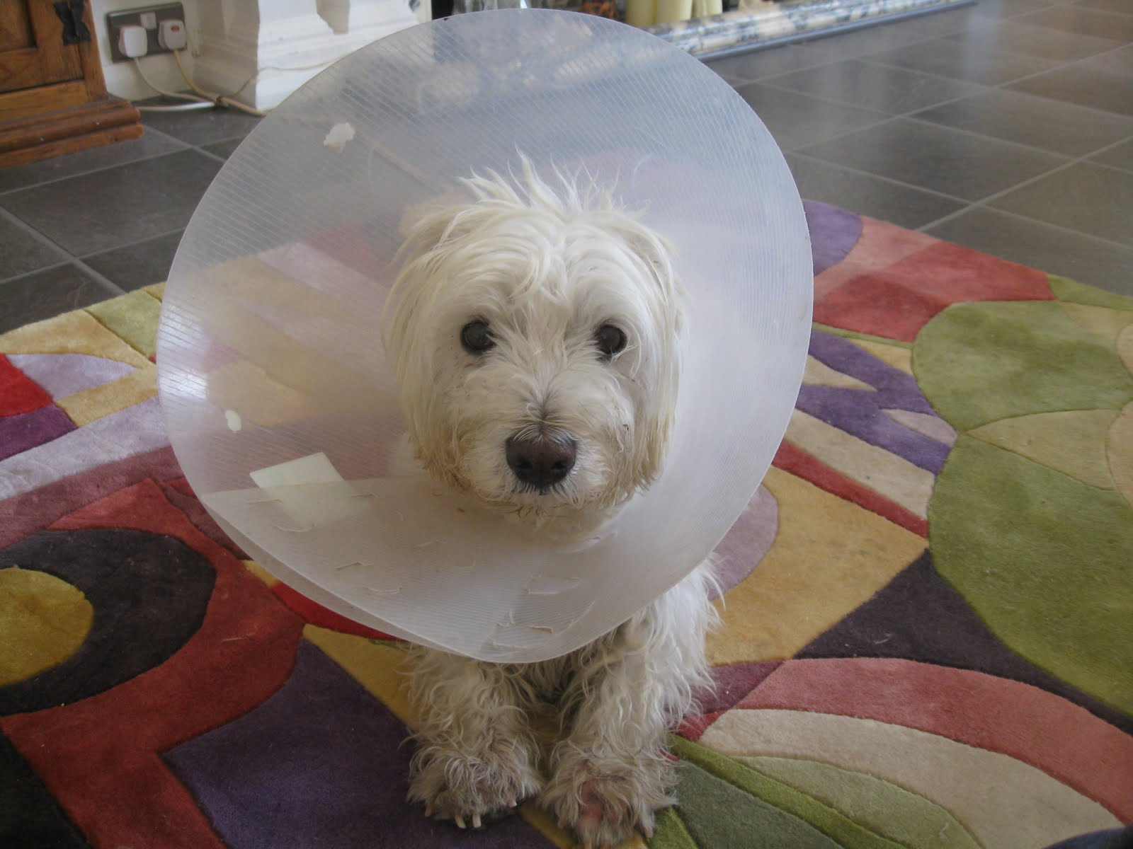 Q&A: The Dogs Today Think Tank: If this is typical Westie skin, god ...