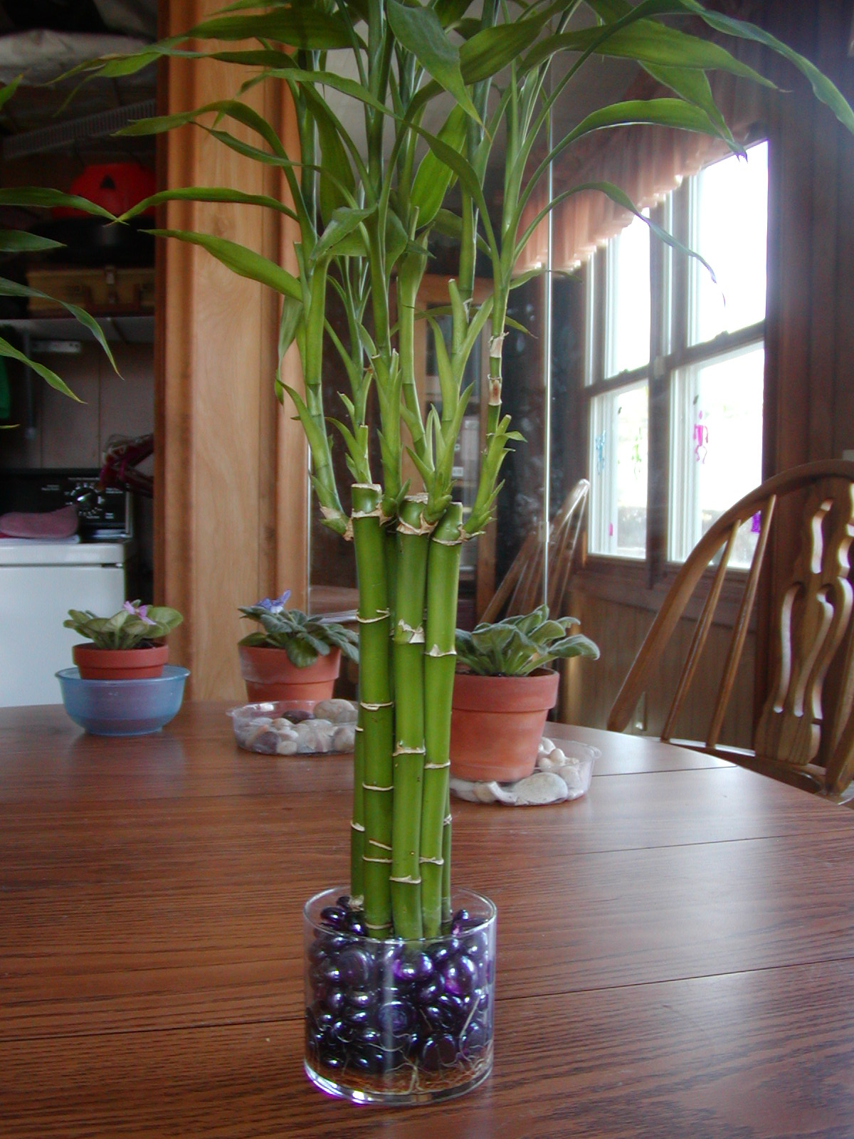 Houseplant Care Guides Lucky Bamboo 101