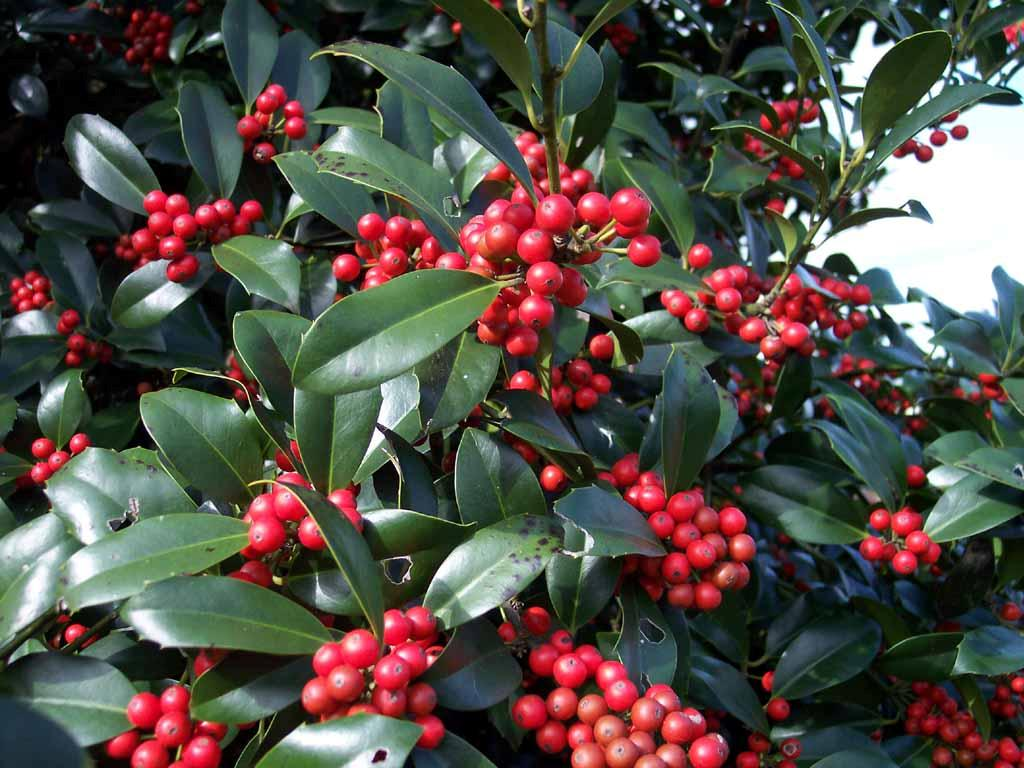 Houseplant Care Guides: The Lore of Christmas Plants