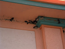 Barn Swallows building mud nest........