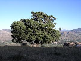 El Enebro de Sabiñán, árbol monumental, propiedad de nuestra asociación