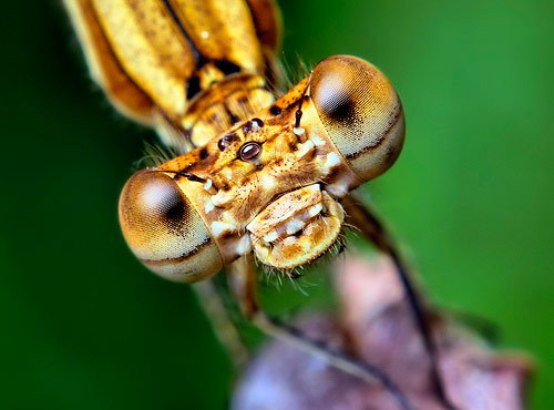 Brown Damselfly Face Macro Photography