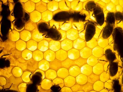 Honey Bees Macro Photography