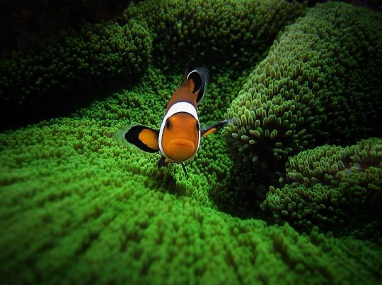 Amphiprion ocellaris by Pedra GoniO
