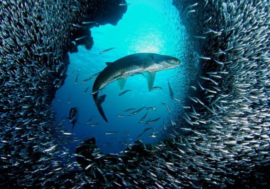 Tarpon and Silversides by Mike Sutton Brown