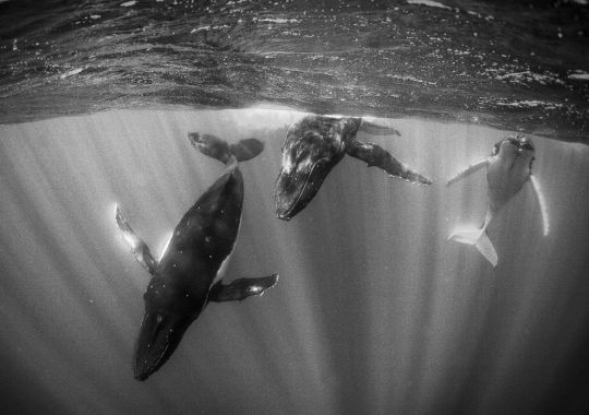Humpback Whales in+ Sunlit Water by Jody MacDonald
