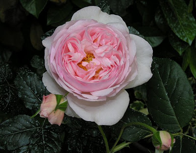 Giardinauta rosa inglese heritage for Rosa inglese