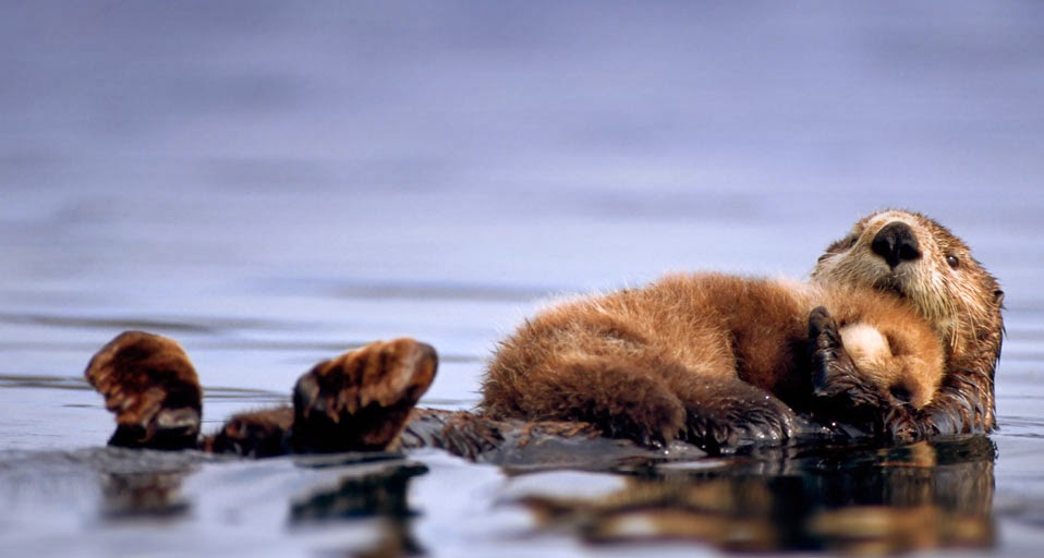 Female Sea Otter Floats with a Newborn Pup Resting on Her Chest ... Otter Sounds