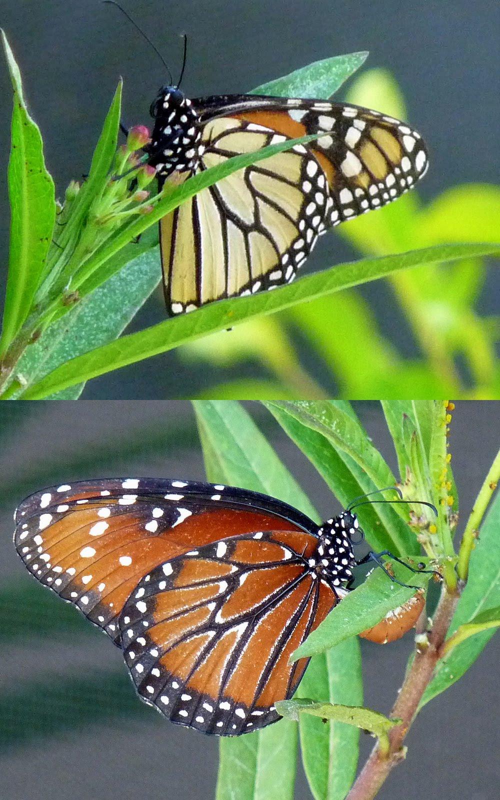 Monarch vs. Queen | MO...