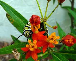 Monarchs Going Native With Milkweed Mosi Outside