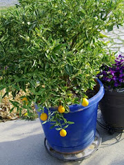Container Kumquat