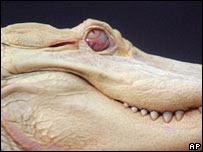 Albino Alligators - Missing