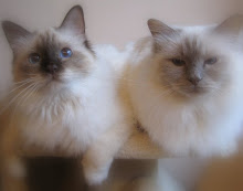 My Birman Cats