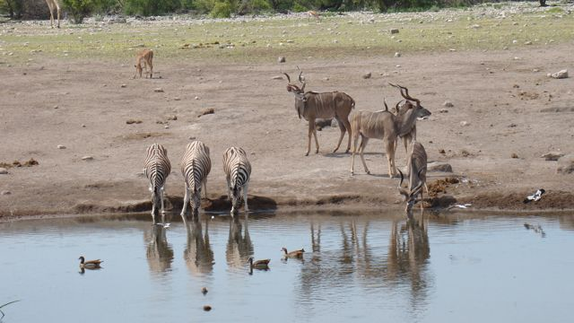 Watering hole guests