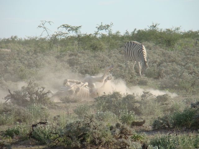 Zebra rolling in the dirt