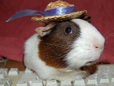 Cochon d'Inde chapeau