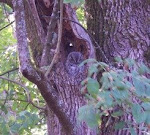 Western Screech Owl