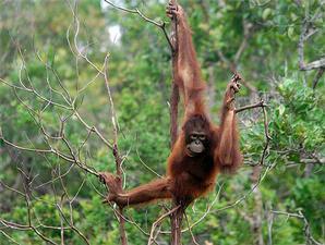 gambar orang hutan - orang utan - gambar orang hutan