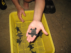 Releasing the baby sea turtles