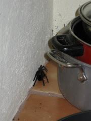 Tarantula in the kitchen!