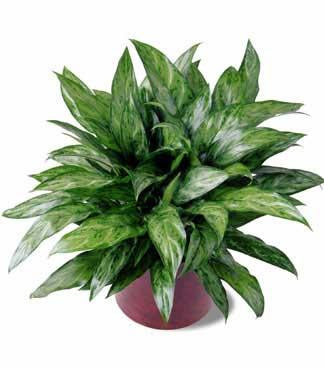 Attractive house plants 2015 indoor house plants - Most popular house plants ...