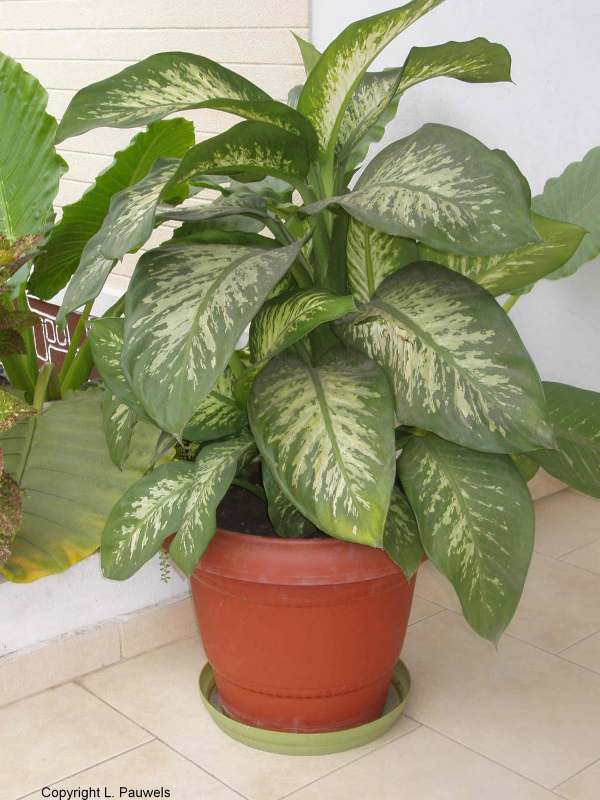 Attractive house plants 2015 large house plants - Big leaf indoor plants ...