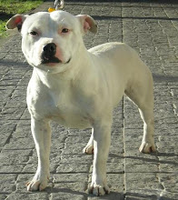 CRIADERO SADOC STAFFORDSHIRE BULL TERRIER