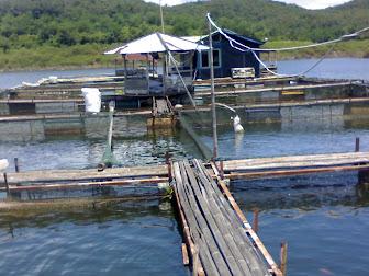 Model Budi Daya Ikan Mas Pada Jaring Apung - Foto Koleksi