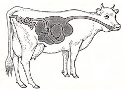 W5256t04 further General Anatomy Of The Ruminant Digestive System besides Is Fibre Your Friend in addition Monogastric Digestive System Diagram in addition 11. on ruminant system