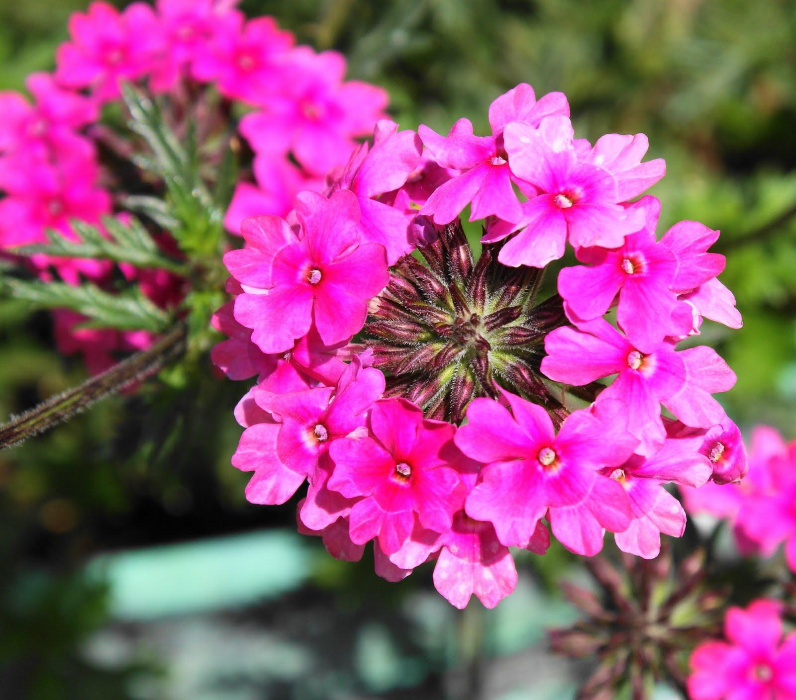Verbena Sissinghurst Flower