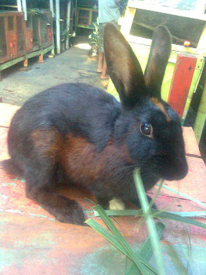 jual kelinci hias