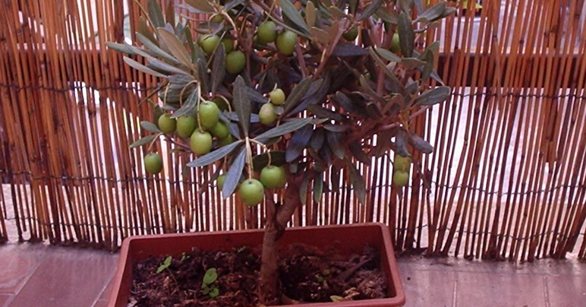 Il teorema di dionea la raccolta delle olive for Raccolta olive periodo