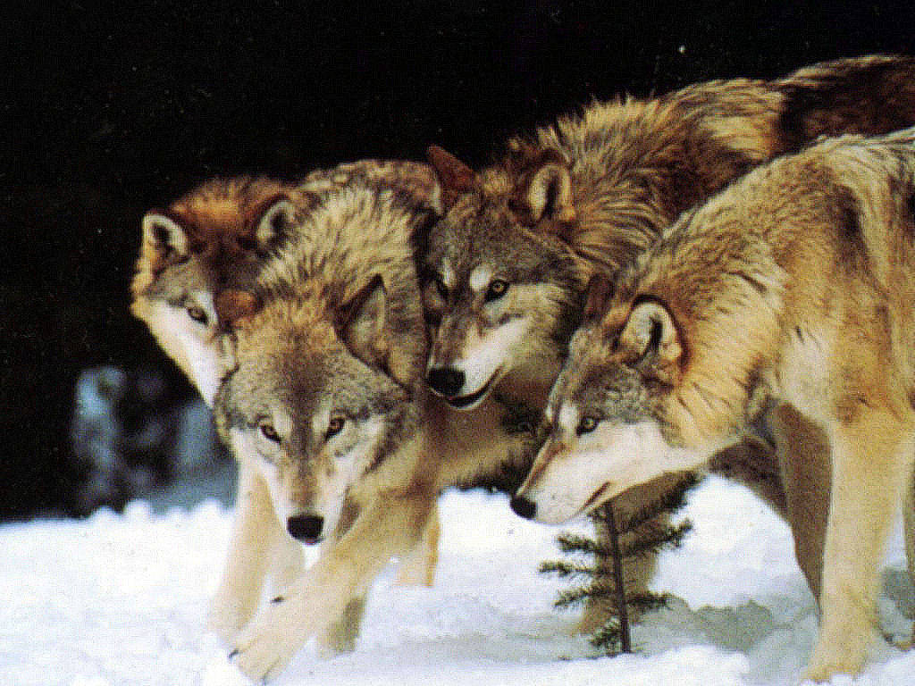Wolf Pack - Best Animals