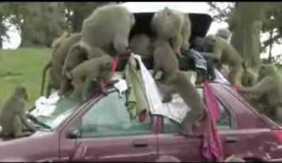 Babouins dépouillent une voiture