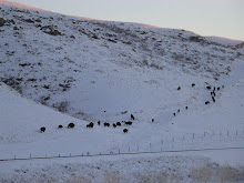 Herd of Bison (Buffalo)